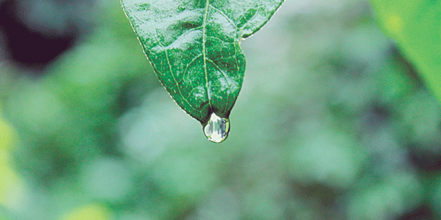Leaf water droplet